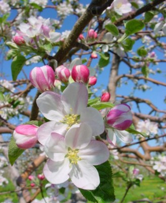 flori de măr21