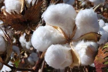 Cotton-Boll1