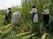 cultivare-canepa