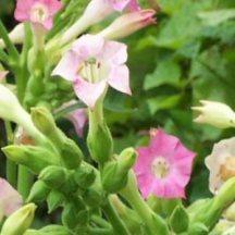 Tobacco__Flower