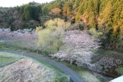 上総亀山 cherry blossom park 1