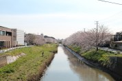 A view of cherry blossoms by a river when I was looking for breakfast.