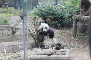 A panda!