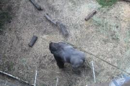 A gorilla from a weird angle
