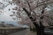 Obligatory cherry blossom picture