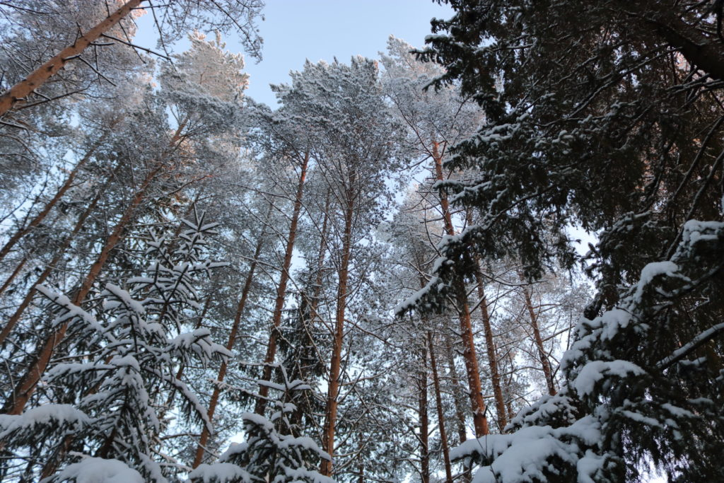 Large snow-covered trees rising towards the sky