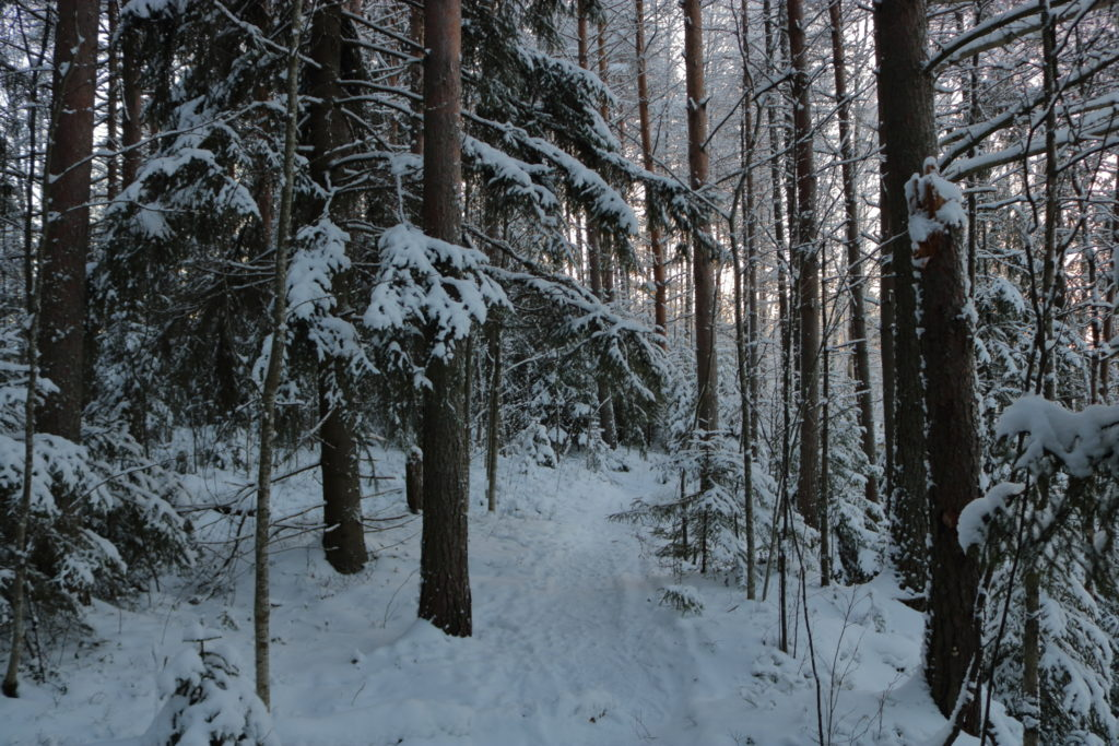 Snowy forest path with pine trees
