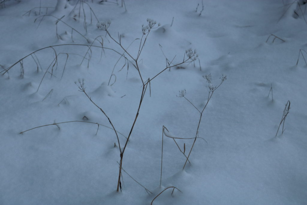 A plant covered in snow