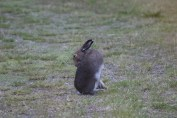 Rabbit on grass scratching itself