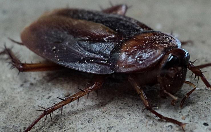 Warna Kecoa yang Gelap Menjijikkan