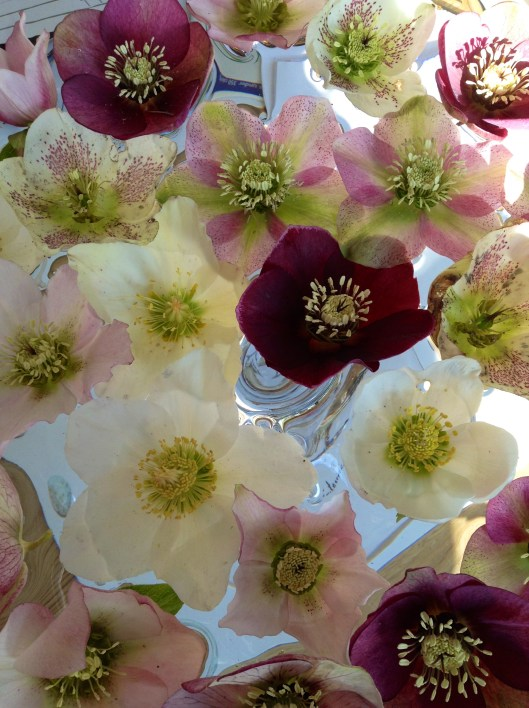 Floating Hellebores
