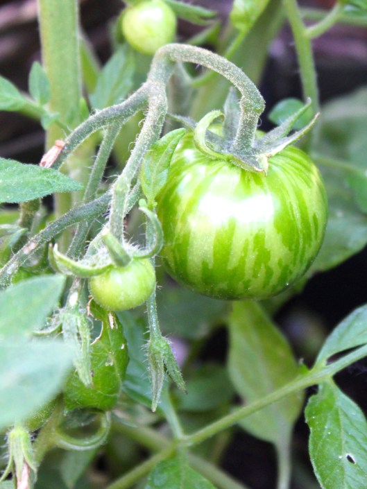 Striped Tomatoe