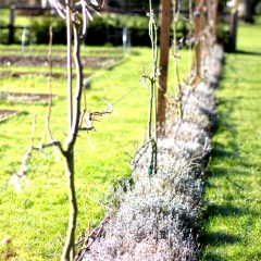 Espalier Fruit Trees & Lavender