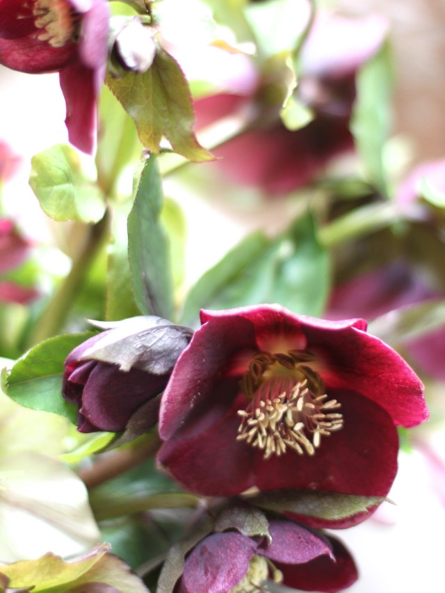 Looking-After-Hellebores