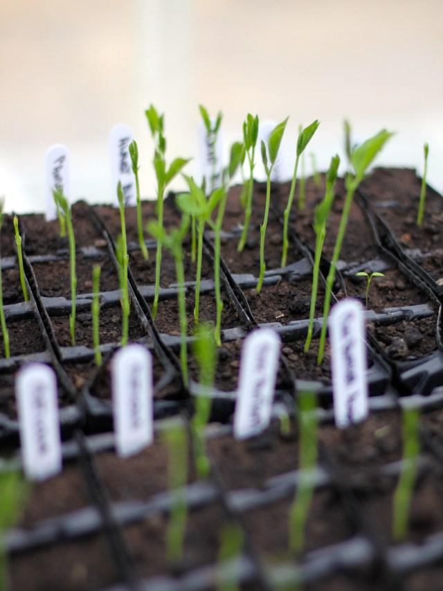 Growing-Sweetpeas