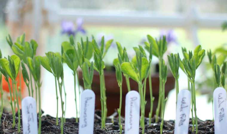Growing-Sweet-Peas-February