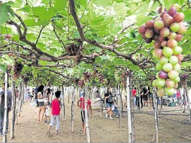 Grape Farm in Bauang