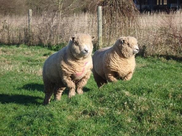 Sheep Agility