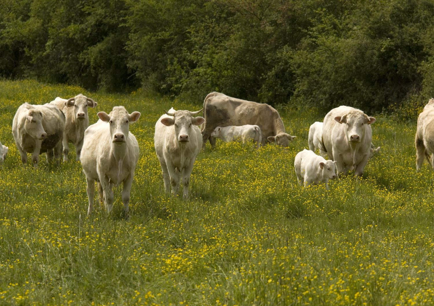 Cattle with calves in lush flowery pasture with buttercups.