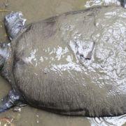 Ένα από τα τελευταία τέσσερα γνωστά είδη της Γιγαντιαίας χελώνας Yangtze Softshell στην Κίνα έχει πλέον εκλείψει