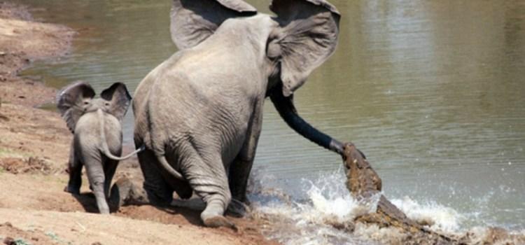 Γενναία ελεφαντίνα σώζει το μικρό της από κροκόδειλο… Δε φοβήθηκε τα κοφτερά του δόντια