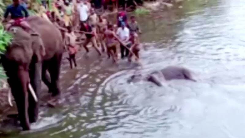in-jndia-man-arrested-over-death-of-pregnant-elephant