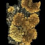 Bark Lichen