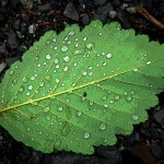 Leaf Wet Green