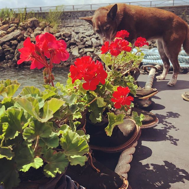 Geraniums on the stern of the Waterfront Museum barge #shantyboat #waterfront #eastriver #redhook #brooklyn #nyc