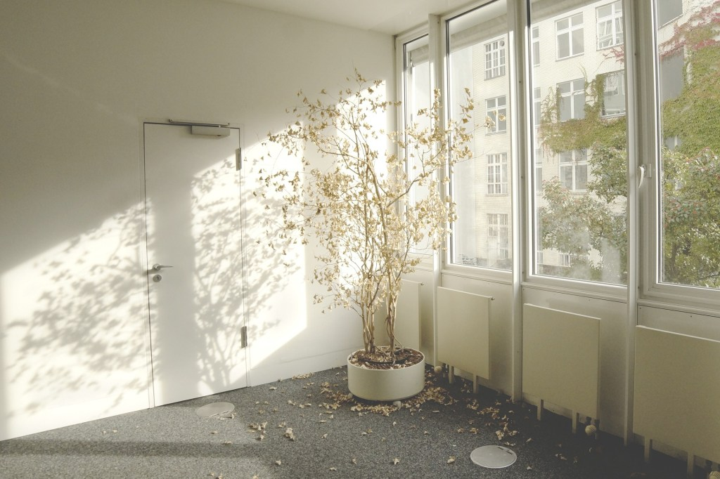 cuidar plantas de interior. Ficus benjamina en esquina junto a un gran ventanal, con hojas secas por el suelo por falta de agua y exceso de luz