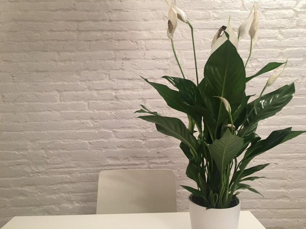 Cuidar plantas de interior lirio de la paz  flores sobre una mesa