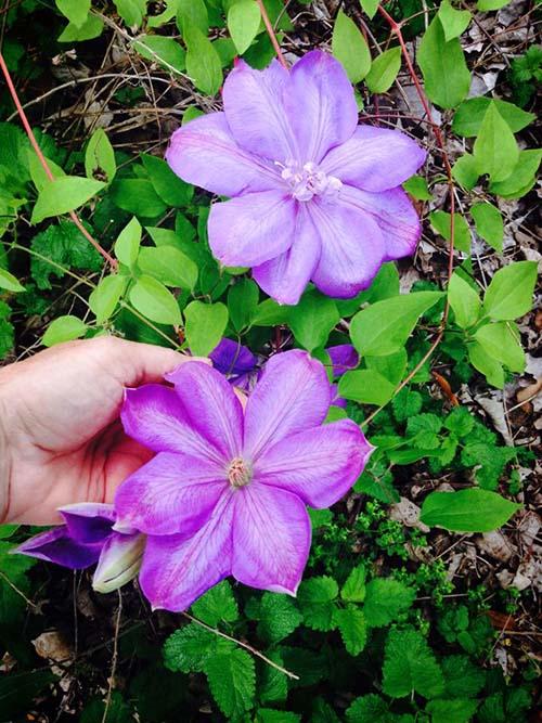 Clemátide, planta trepadora