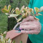Cómo hacer esquejes de crassula arborescens o árbol de jade