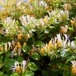 Madreselva: Nunca planté una en mi jardín