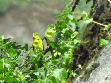 Lachay.Parakeet_Mountain