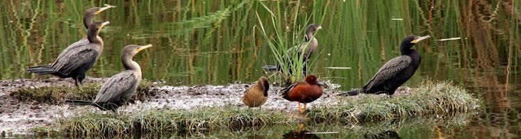 Ducks at Villa Wetlands