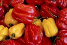 habanero red proprietà peperoncino