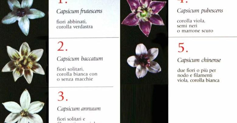 TIPOLOGIA CAPSICUM PEPERONCINI