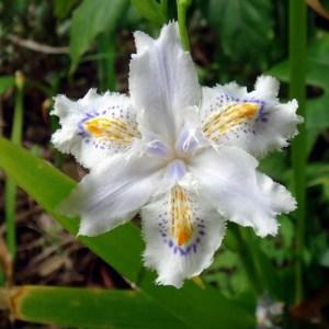 Iris // Blanc du Japon (Plant)