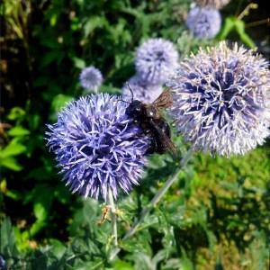 Echinops ritro // Chardon bleu (Plant)