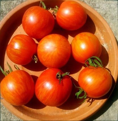 Tomate // Tigrée Rouge & Jaune