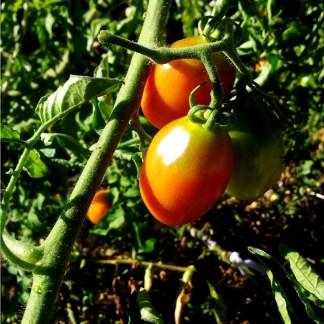 Tomate // Prince de Borghese