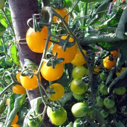 Tomate Prune jaune