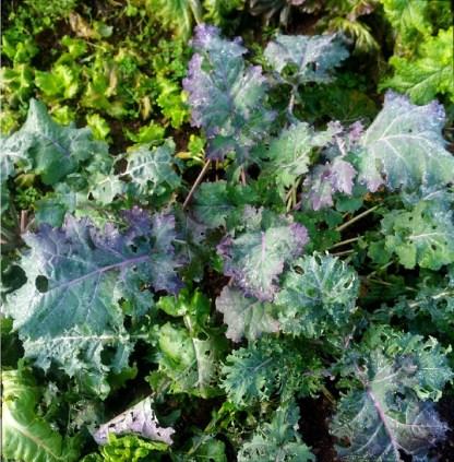 Chou // Kale sibérien violet