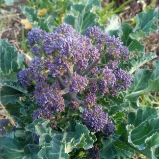 Chou // Brocoli à jets violets