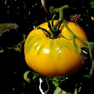 Tomate // Saint Vincent