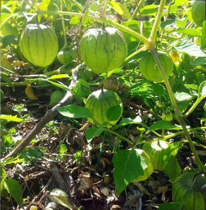 Physalis // Tomatillo du Mexique