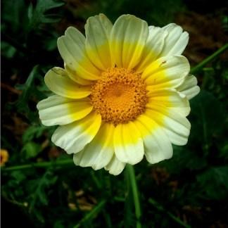Glebionis // Chrysanthtème comestible