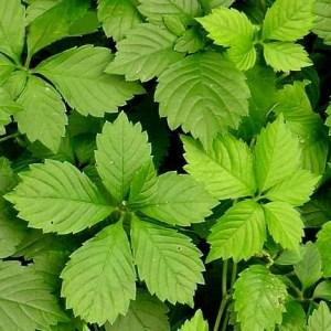 Gynostemma // Herbe de l'immortalité 'Jiao Gu Lan' (Plant)