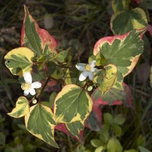 Houttuynia // Coriandre vietnamien caméléon 'Yu Xing Cao' (Plant)